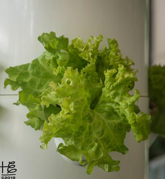 Scrumptous lettuce