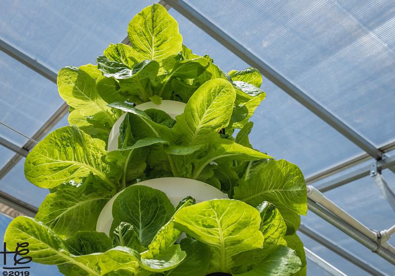 Lettuce ready for harvest