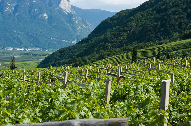 Green. Vineyards in the Alto Adige wine region of Italy.