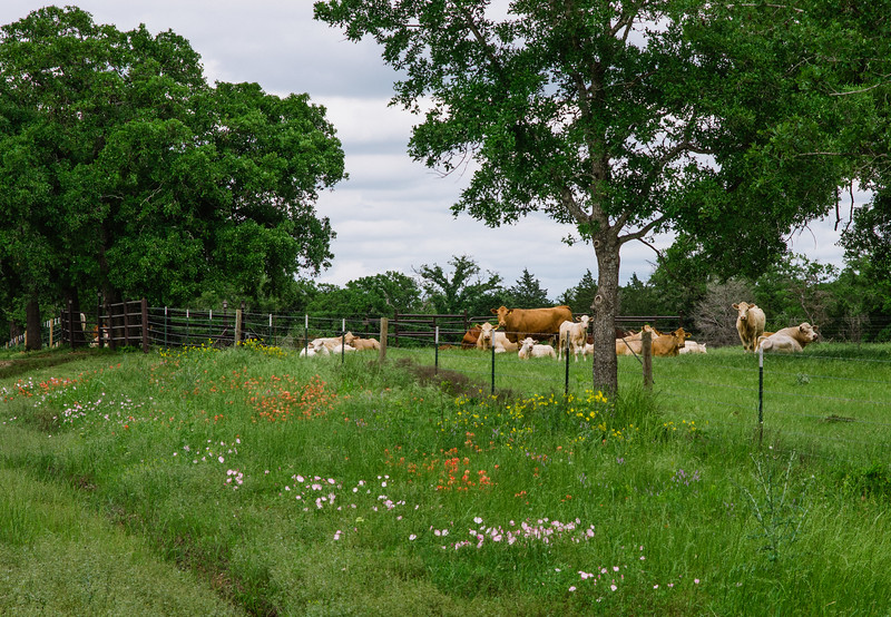 East Texas lushness with cattle and wild flowers.