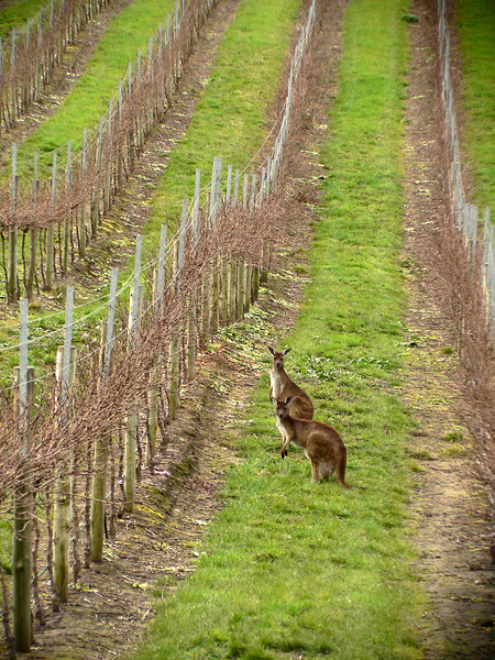 Kangaroos in the vineyard in Barossa Valley, Australia.