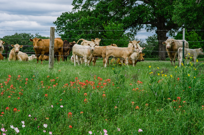 Cattle and wildflowers in Texas.