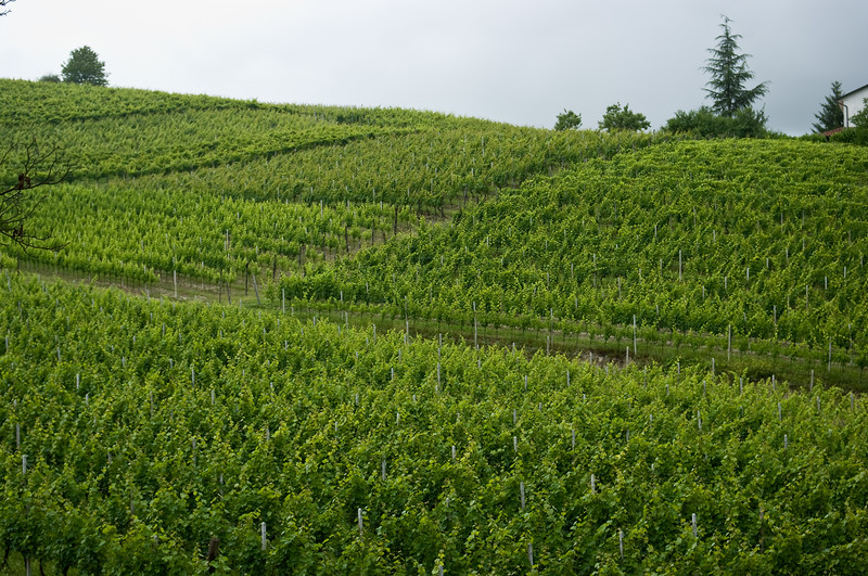Rolling hills of vines, belonging to Tenuta I Quaranta in the Asti wine region of the Piedmont in Italy.