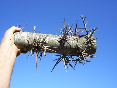 Cutting a Thorn Tree