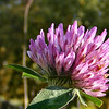 """""""Bokeh"""" of a Red Clover Flower.<br /> <br /> Bokeh? --- How did anyone think up that word and have a definition like that?"""