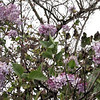 I Sure Never Knew That the Last of October was Lilac Time in North Missouri.