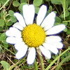 I'll Give You a Daisy a Day.