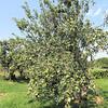 """The """"Granny Smith"""" Apple Tree"""