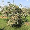 """The """"Fuji"""" Apple Tree"""