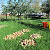 Fuji Apples Ready to be Sorted