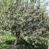 "The ""Delicious"" Apple Tree"