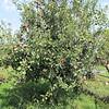 "The ""Honey Crisp"" Apple Tree"