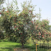 "The Loaded ""Freedom"" Apple Tree."