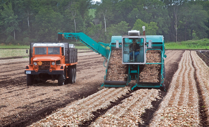 A harvester skims onions up off the surface of the black dirt fields along Pumpkin Swamp Road on the Florida/Goshen border. As the onions reach the top of the conveyor belt they are pushed out a shoot and into the back of a truck for transport to a local warehouse.