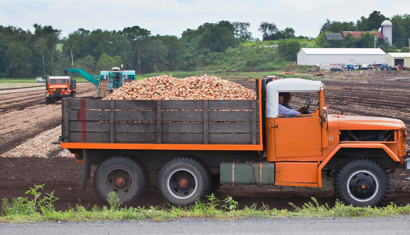 Onions freshly harvested from the black dirt region are transported by truck to a local warehouse.