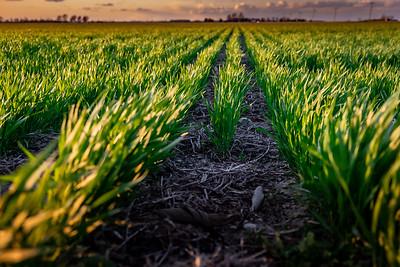 Evening Spring Wheat