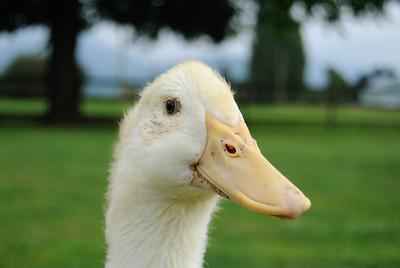 Pekin Duck Farm