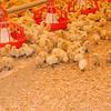 silkie farm_2105