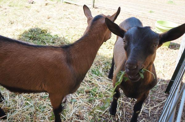 Spring 2013: Yurt, Goats, Aquaponics