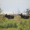 LeBlanc-Moose-7014