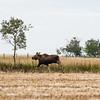 LeBlanc-Moose-7081