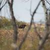 LeBlanc-Moose-7002