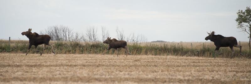 LeBlanc-Moose-7087