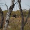 LeBlanc-Moose-7009
