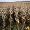 LeBlanc-Corn Silage-6076