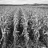 LeBlanc-Corn Silage-6081-Edit