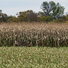 LeBlanc-Corn Silage-6304