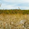 LeBlanc-Corn Silage-6064-2