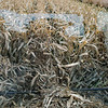 LeBlanc-Corn Silage-6045