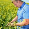 Farmer checks canola in bloom.