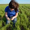 Farmer checks lentils for nodulation