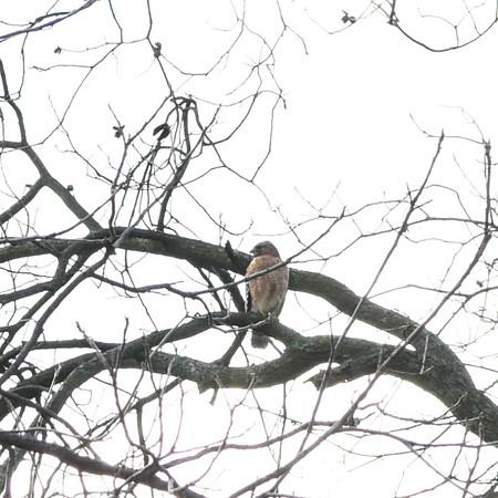 Falcon or Hawk