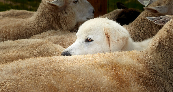 Livestock guard dog and sheep