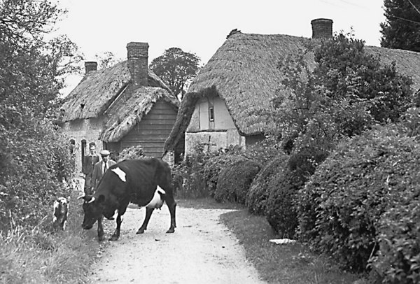"<center><font size=3><u> - Cow and her calf,  -Quaker corner, Rokemarsh- </u></font> (BS0332)  Grazing cow with calf in lane. Journey's End (cottage on left) was originally two farm cottages belonging to Brook Farm, Benson. The farm was auctioned by Franklin and Gale in 1919. The cottages and much of the land between there and Hale Road and Watlington Road were bought by the County Council as a smallholding and the cottages were knocked into one. By the time the Webbs lived here, the land was let separately from the cottage which was sold in 1979. The land was sold in 1983 to Mr Belcher of Hale Farm.   From Geoff Williams, Rokemarsh:  ""The cottage on the left of the picture is Journey's End. The current owner (2003) is Mr Sherwin Smith. The one on the right was originally 3 cottages, then 2, the one nearest the lane becoming derelict.   In the 1950s the Webbs lived in the rear cottage and their son in Journeys End. The right hand cottage was destroyed by fire in 1985, and is in 2003 the location of Meadow View""  </center>"
