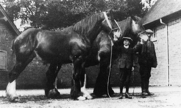 <center><font size=3><u> - Shire Horses - </u></font> (BS0333)  Two shire horses taken in farmyard with a boy and man.   </center>