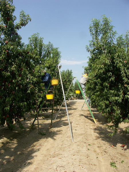 Ladder in field with yellow buckets and pickers filling them.