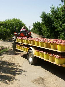 Trailer of Yellow Totes filled with peaches being pulled in field by tractor.