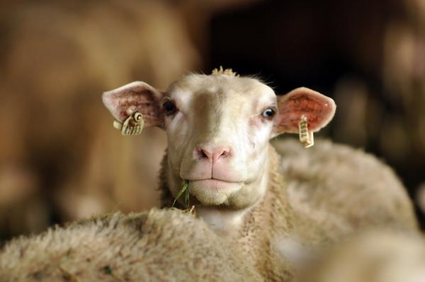 Ovinshire Sheep Dairy