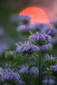 Bee Balm at Sunset