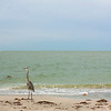 Great blue heron, seemingly a resident of Madeira Beach, Florida.