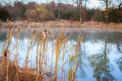 Autumn Cattails