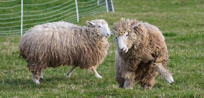Frisky Sheep