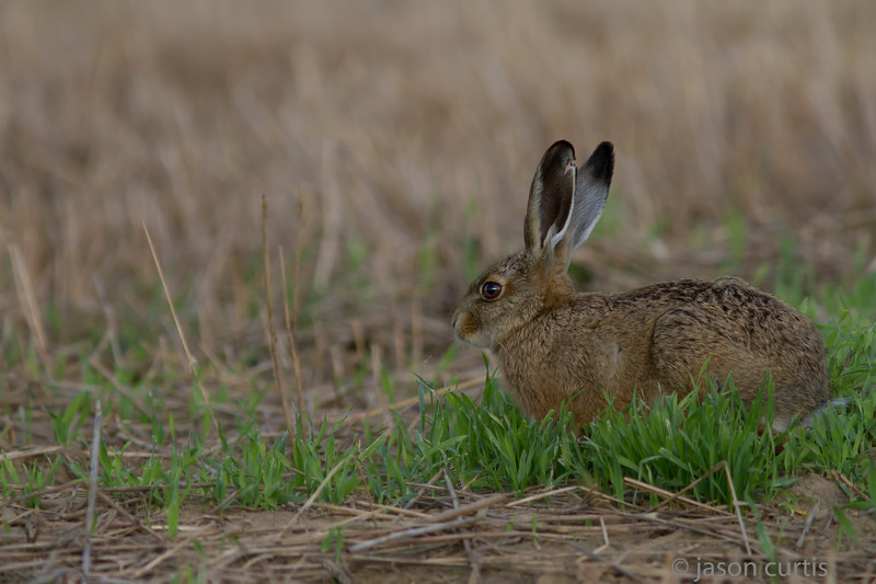 Brownhare