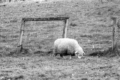 Grazing Wooly Sheep