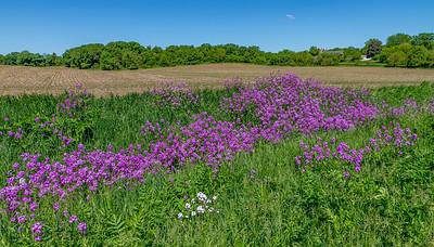 Spring Phlox Lined Farms