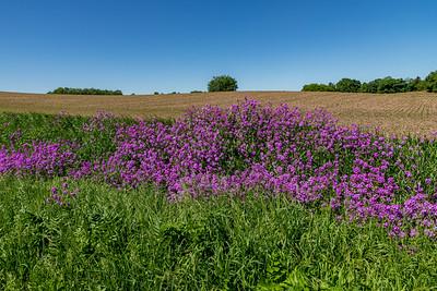 Phlox Lined Fields